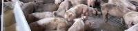 El consumo de carne de cerdo creció en la UE en 2015