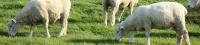 La vacuna contra la tuberculosis BCG es segura para su uso en cabras