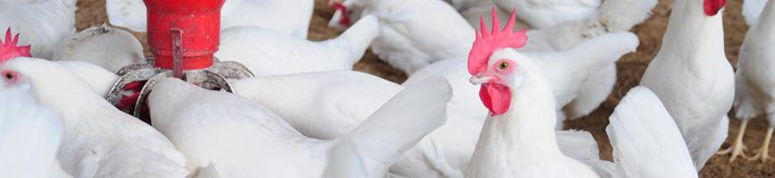 El papel de las aves silvestres en la epidemiología de bacterias zoonóticas y resistencias a antibióticos