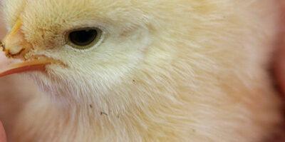 Entra en vigor a nivel comunitario una nueva ley en materia de sanidad animal