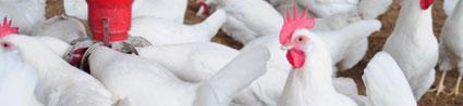En Europa la industria avícola se enfoca en la sostenibilidad