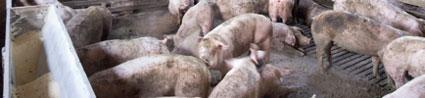 Sostenibilidad, bienestar animal y seguridad alimentaria, claves del éxito del porcino español.